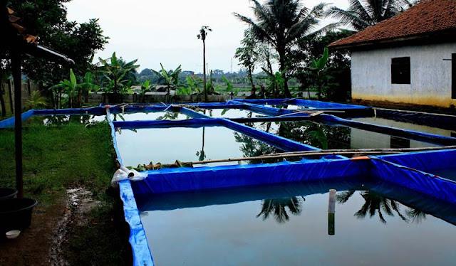 Cara Menghitung Jumlah Tebar Ideal Budidaya Ikan Lele