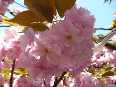 櫻宮神社献花祭桜