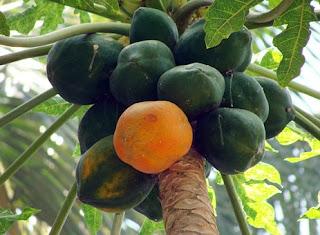 papaya uses in Hindi