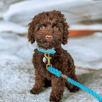 Cavapoo dogs rarely come from Toys