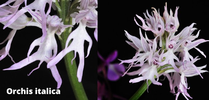 Orchis italica in Misconception