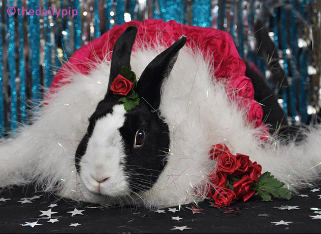 Lulu, the dutch rabbit, celebrates the new year with roses and sparkles