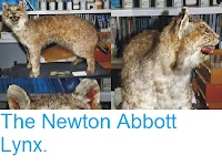 http://sciencythoughts.blogspot.co.uk/2014/09/the-newton-abbott-lynx.html
