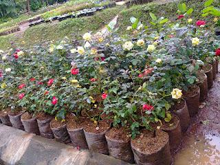 bibit-bunga-mawar-murah-meriah.jpg