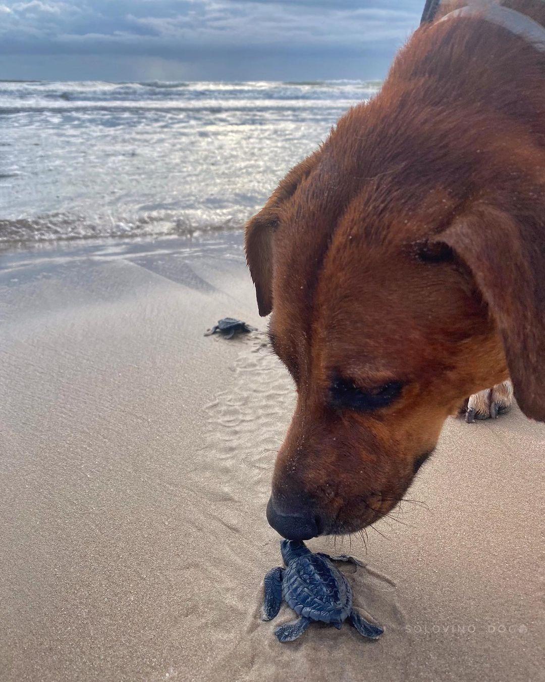Solovino el perro viral que cuida tortugas mexicanas