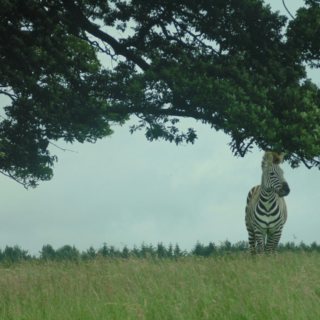 Knowsley safari park, zebra