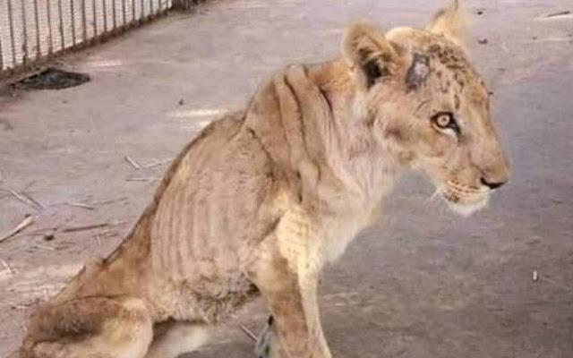 В обедневшем зоопарке Судана львы голодают в ржавых клетках!!!