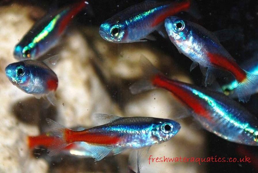 Gambar, Foto  Cara Memelihara Dan Merawat Ikan Neon Tetra Di Akuarium