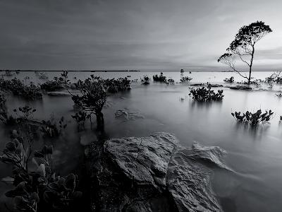 black and white mangrove wallpaper