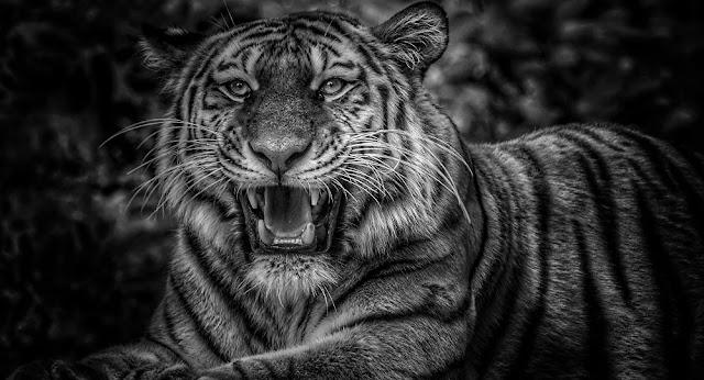 Μαύρη τίγρης: Το υπερ-σπάνιο, πανέμορφο αιλουροειδές - Βίντεο, φωτογραφίες