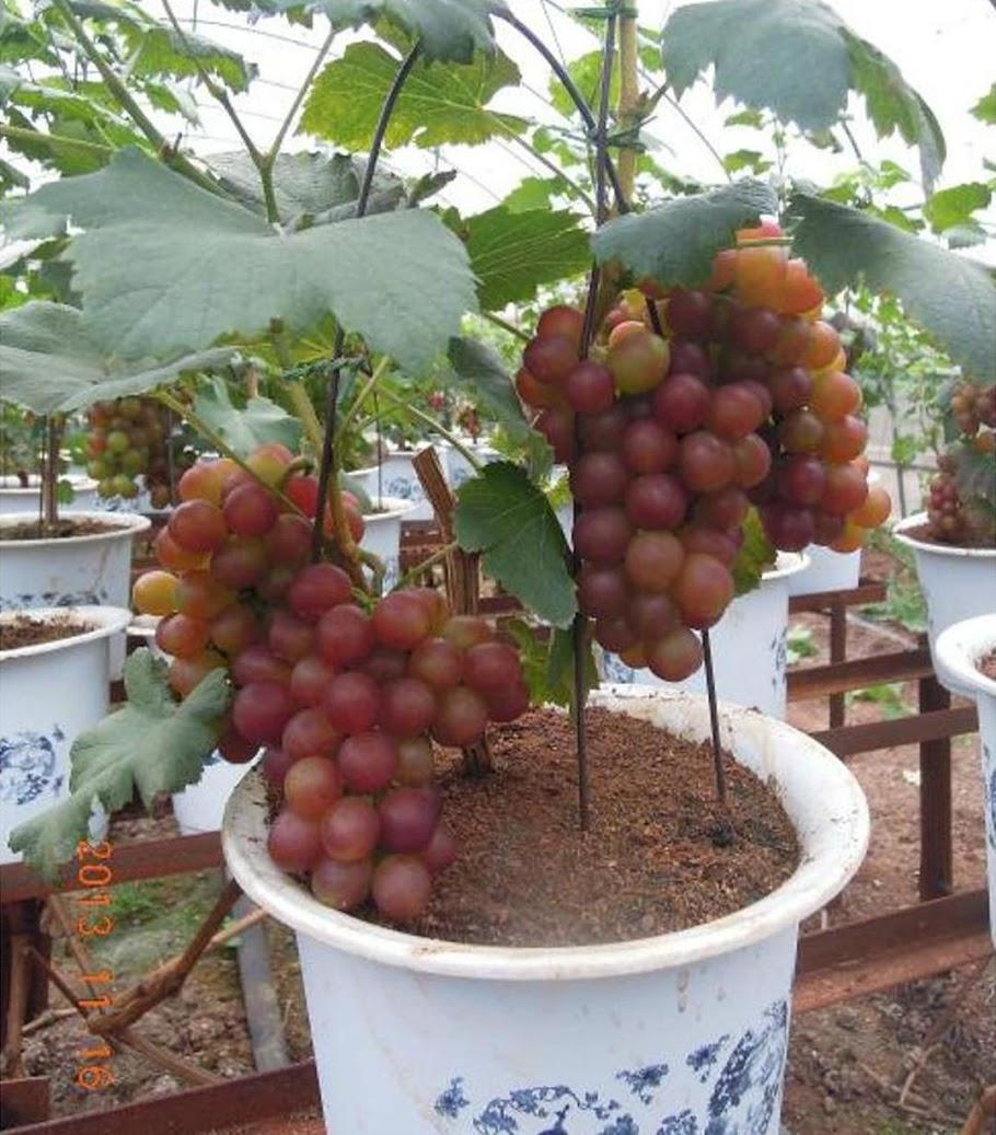 10 biji benih Anggur red globe import Sulawesi Utara