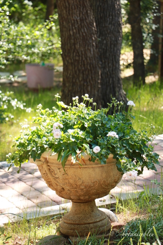 geranium-loaded-with-blooms-in-french-design-urn