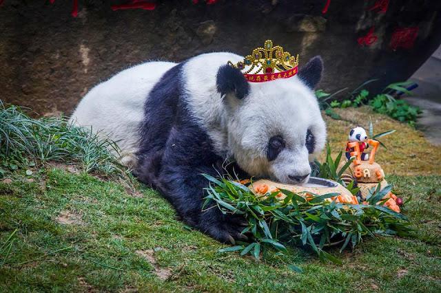 World's oldest panda celebrates 37th birthday,entertainment news