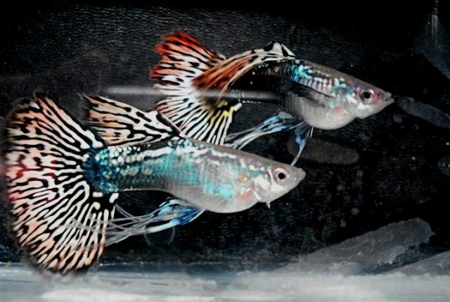 Jenis Ikan Guppy Termahal