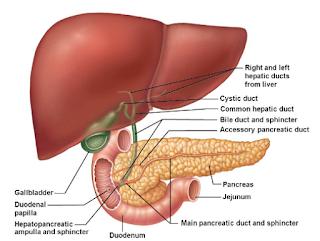 anatomi-traktus-biliaris