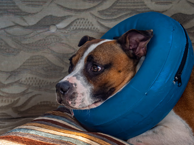 Photo of Ruby in her inflatable collar