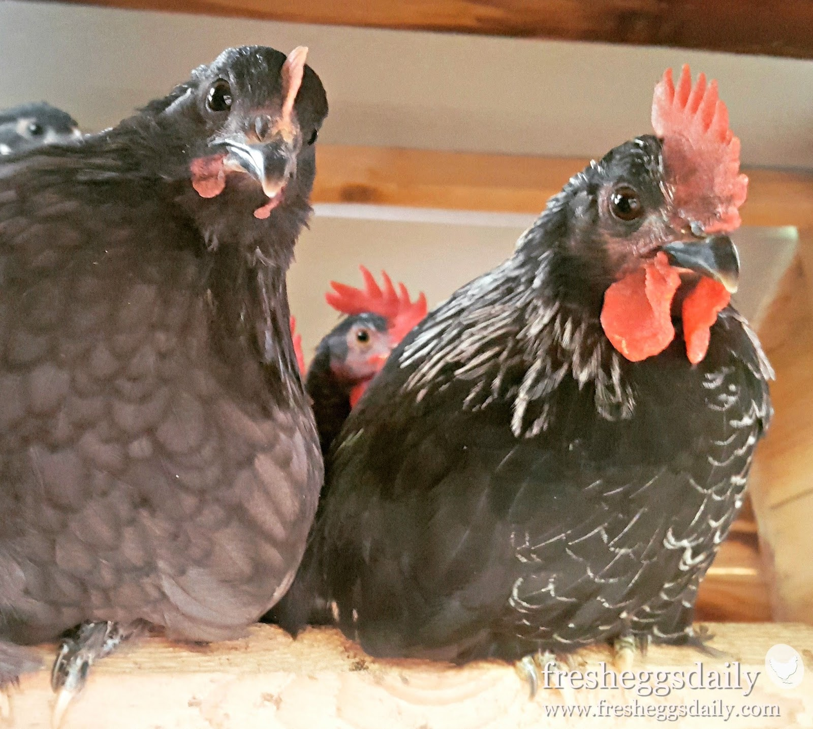Why I Don't Keep a Rooster in My Backyard Chicken Flock
