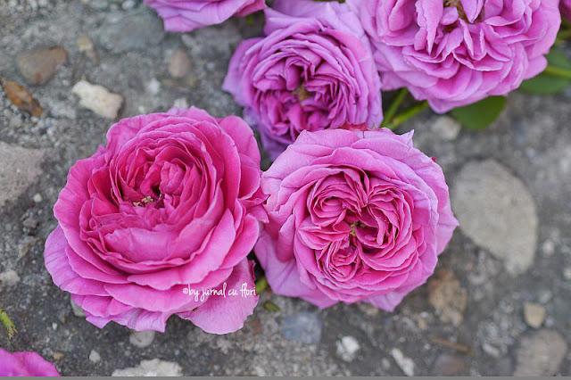 trandafiri ciclam de gradina asemanator cu bujorul
