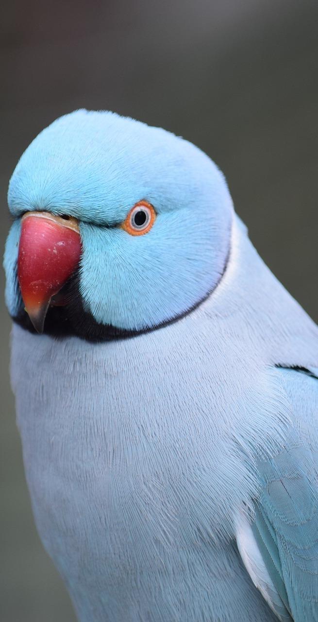 A cute blue parrot.