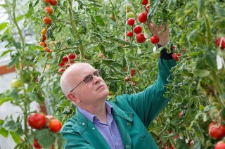 Tomatoes important crop in seniors' diet