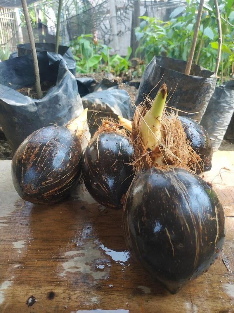 Bahan bonsai kelapa minion tanpa daun tapi sudah berakar Palopo
