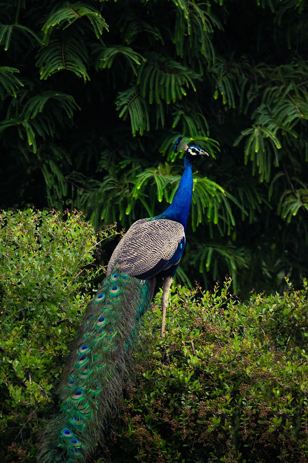peacock-on-green-grass-images