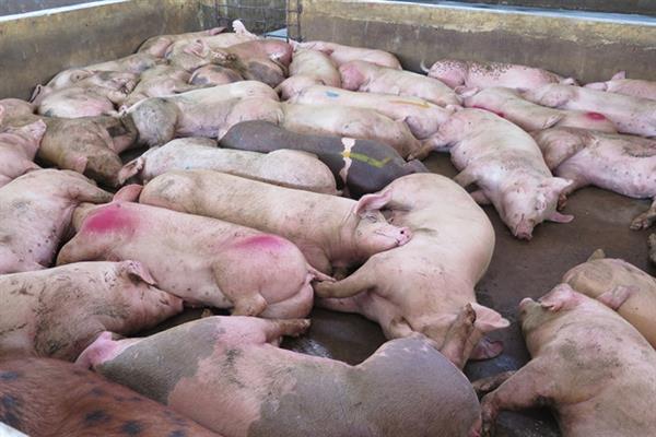 Gia Lai: Phát hiện cả trăm con heo bị 'lở mồm long móng'