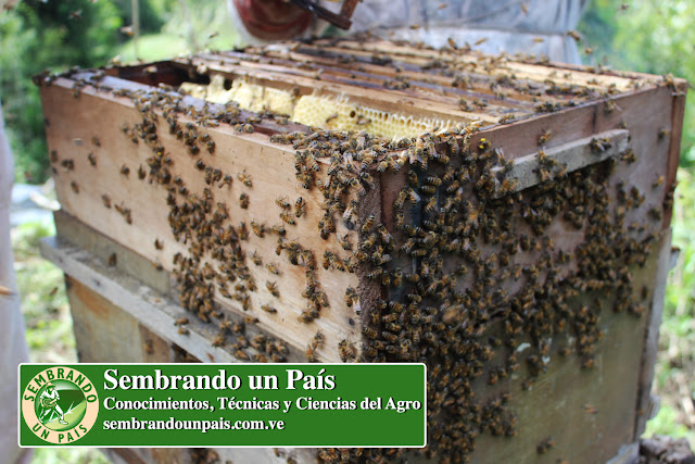 abejas en colmena