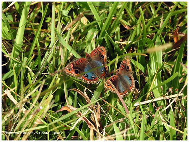 Mariposas pavo real - Chacra Educativa Santa Lucía