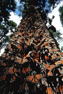 Thousands of orange and yellow monarchs roosting on a tall oyamel fir tree.