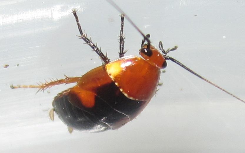 Hemithyrsocerapalliata%25231.JPG