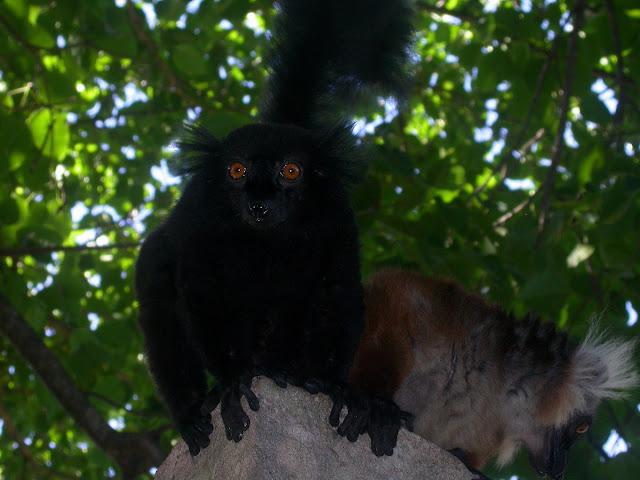 makis macaco (Eulemur macaco