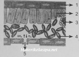 Gambar bagian - bagian jaringan penyusun organ daun pada tumbuhan
