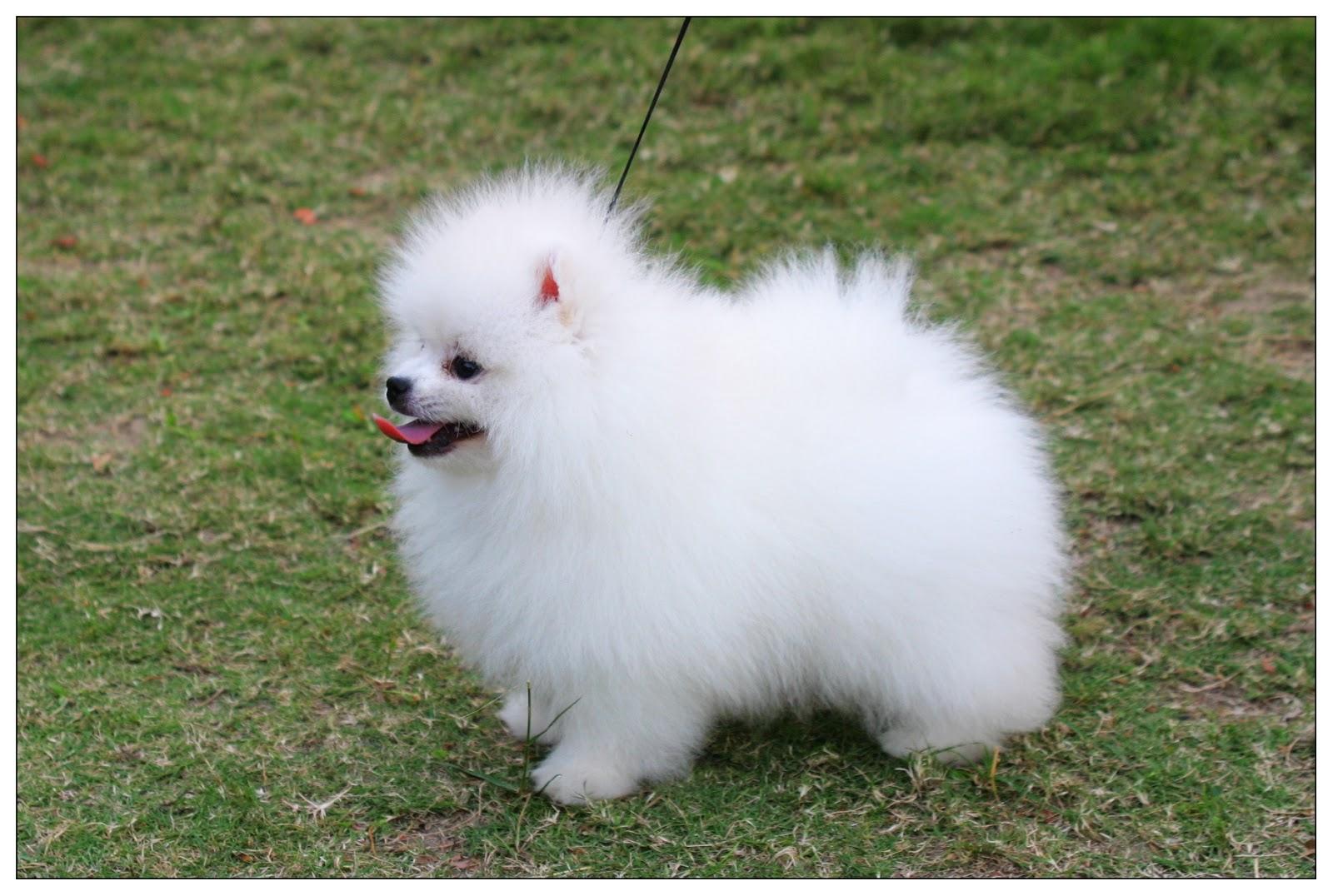 Cute Puppy Dogs Mini Pomeranian Puppie