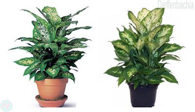 Dieffenbachia plant
