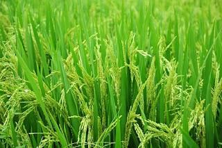 manfaat padi bagi kehidupan manusia dan lingkungan
