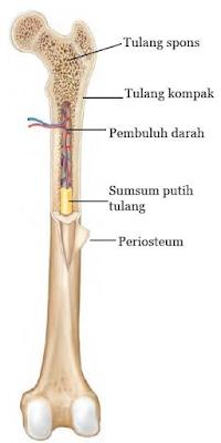 Gambar  .Struktur Tulang Manusia