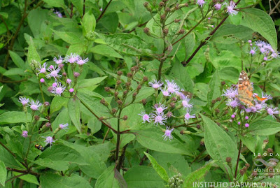 Hediondilla (Chromolaena hookeriana)
