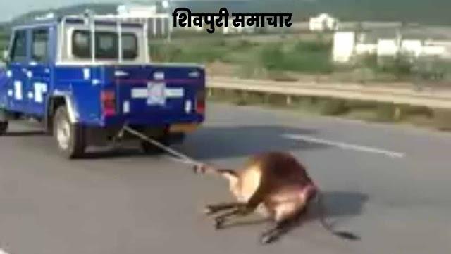 शर्मसार तस्वीर: मृत गाय को घसीटकर ले गई NHAI की कार, समाजसेवी संस्थाओं ने जताई आपत्ति - SHIVPURI NEWS
