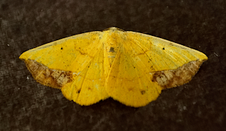 Yellow Moth in Puriscal