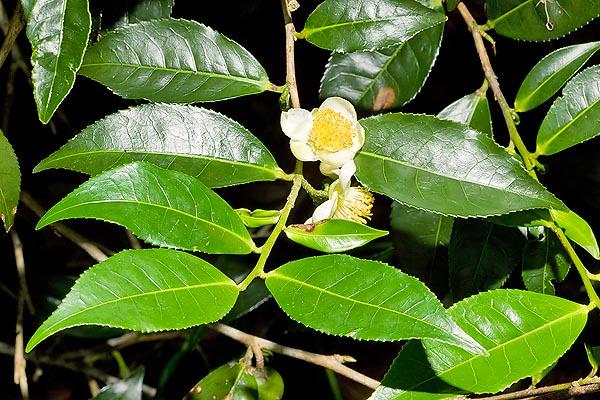 Camellia Sinesis चाय
