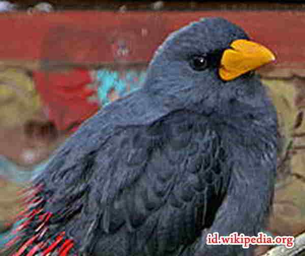 Burung Jalak Tunggir Merah Masteran