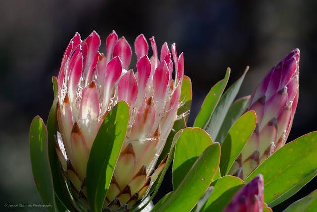 King Protea Kirstenbosch Botanical Garden Cape Town Photographer Vernon Chalmers