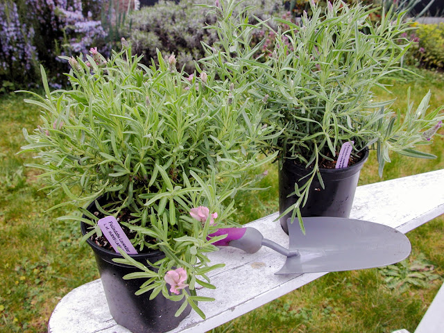 How to Plant Lavender in Your Garden