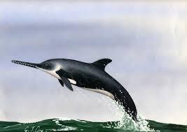 miocene marine mammals