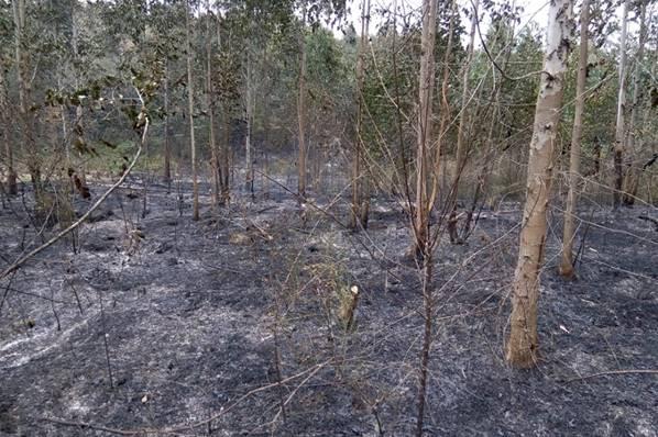 Fogo reflorestamento eucalipto em Mafra