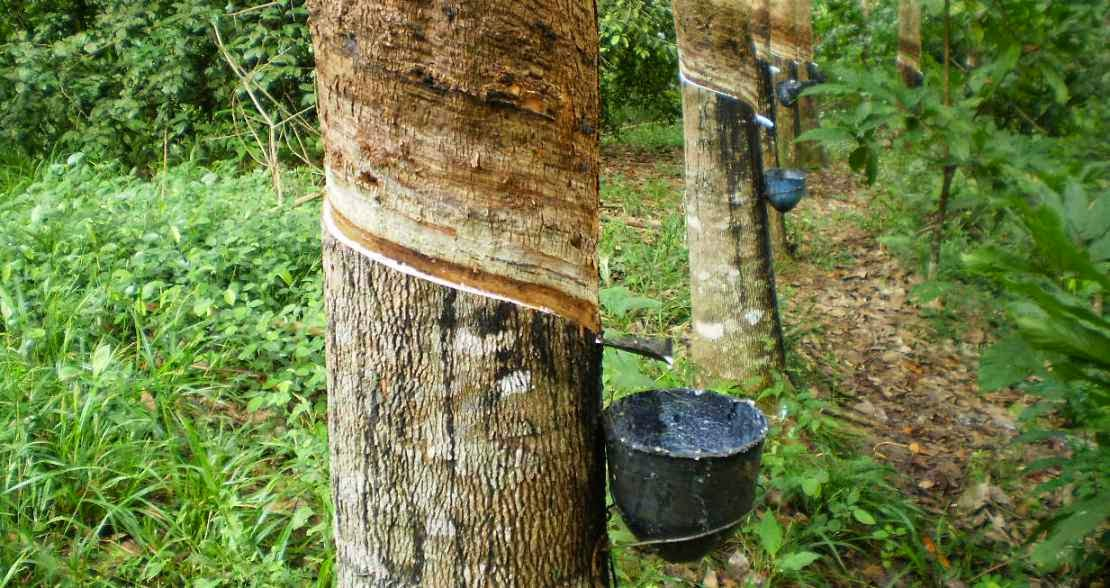 Arbol del caucho y selvas tropicales
