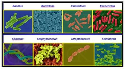 Macam-macam bentuk monera bakteri