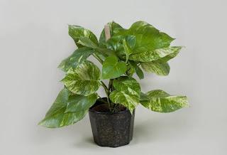 http://agriculturers.com/la-planta-que-la-nasa-recomienda-para-purificar-el-hogar/