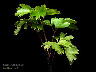 Árvore da Felicidade - Polyscias guilfoylei